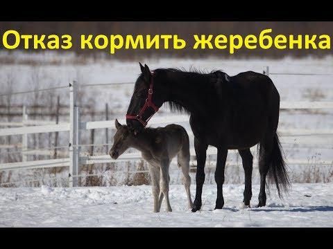Кобыла отказывается кормить новорожденного жеребёнка. Как быть?