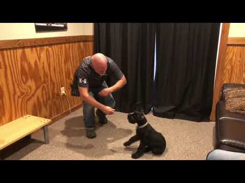 """Giant Schnauzer Female """"Thyme"""" 12 Wks Early Puppy Obedience Training W/Protection Dog Sales"""