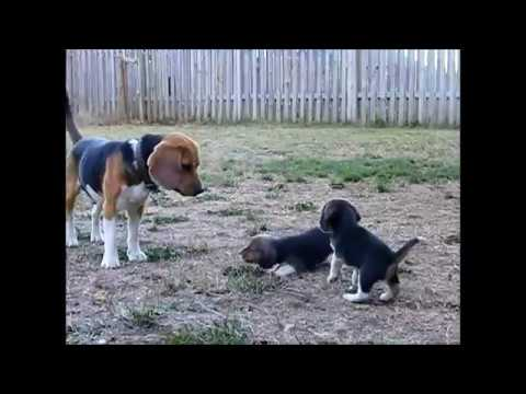 Beagle puppy barks for the first time to his beagle daddy