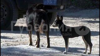 Неизвестный расстрелял уличных собак из ружья на окраине Хабаровска.MestoproTV