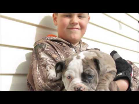 Alapaha / American Bulldog Puppies #2