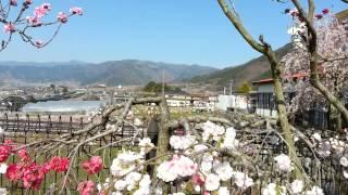 Yamanashi Perfecture Tokyo Peach Flowers Fri 11 Ap