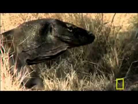 Xem rồng Komodo giết trâu rừng với chỉ 1 vết cắn