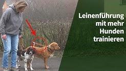 Leinenführigkeit trainieren - Wie Du Leinenführigkeit mit mehr Hunden trainieren kannst