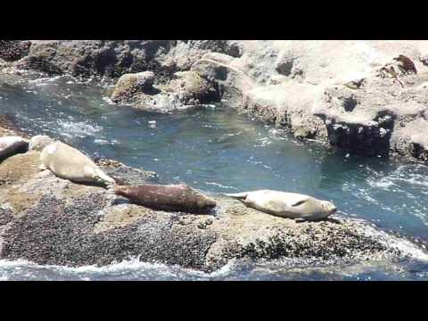 Harbor seal pups struggling in waves - Oregon Coast
