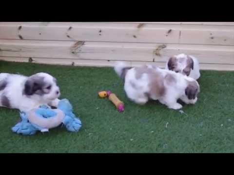 Lhasa Apso x Bichon Frise pups for sale (La-chons)