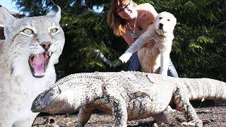 ВСТРЕЧА СОБАКИ С ВАРАНОМ / Готовим к жаре больших кошек, рыси недовольны