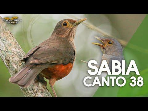 SABIÁ LARANJEIRA CANTO 38