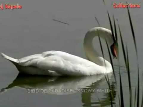 BIRD OF PARADISE - SNOWY WHITE