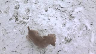 55 Day Old Cocker Spaniel Puppy