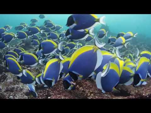 パウダー玉~パウダーブルーサージョンフィッシュの群れ~モルディブダイビング A group of Powderblue surgeonfish,Maldives Diving
