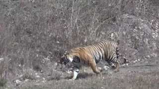 TIGER SHOW BANDHAVGARH NATIONAL PARK ,INDIA. VIDEO BY DR. KAPIL SONI 09 APR 2012