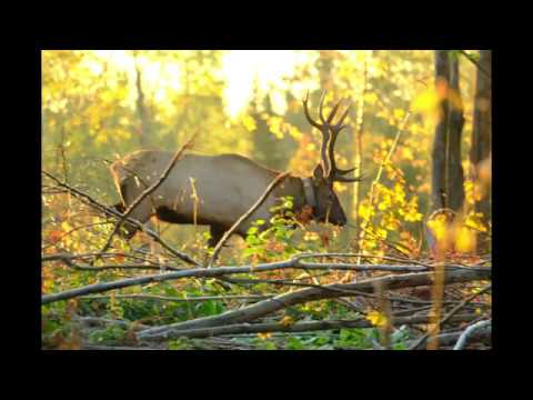 Clam Lake, Wisconsin Elk PhotoShow