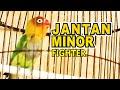Lovebird Jantan Ngekek Minor Bagus Untuk Masteran Lovebird Konslet  Mp3 - Mp4 Download
