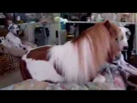 Mini Horse Amp Great Dane On Bed Youtube