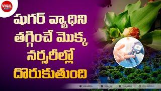 Insulin Plant in Telugu | Insulin Plant for Diabetes in Telugu | షుగరు ఉన్నవారు రోజు తినవలసిన ఆకు