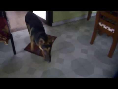 German Shepard Dog Walking About!
