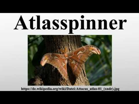 Atlasspinner