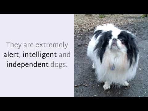 15 Unknown Things You Should Know About Japanese Chin