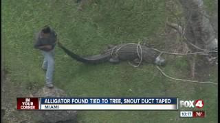 Gator found tied to tree