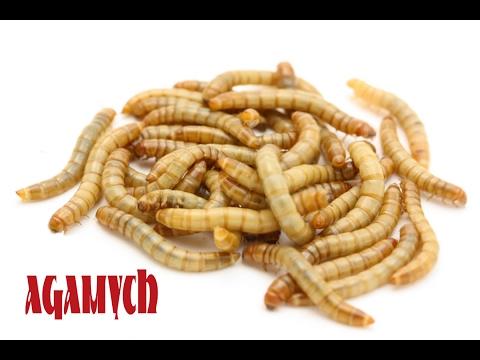 Мучной червь (Хрущак) - Основы содержания и разведения