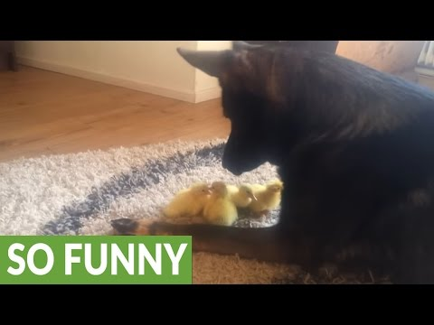 Compilation of German Shepherd and his baby bird friends