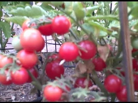 Best Compact Tomato To Grow In A Container On Your Patio   YouTube