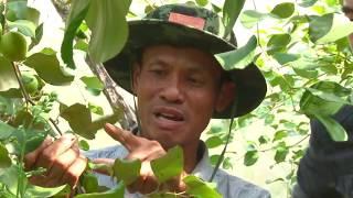 เกษตรไทยไอดอล | EP.46 ตอน พุทรานมสด 11 ม.ค. 59