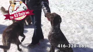 German Short Haired Pointer Off Leash Dog Training