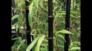 How to Grow BAMBOO from Seed Indoors Fast
