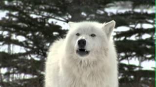 Yamnuska WolfDog Sanctuary 1/2