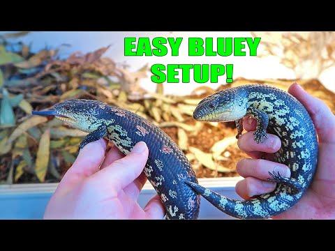 Easy Blue Tongue Skink Setup!