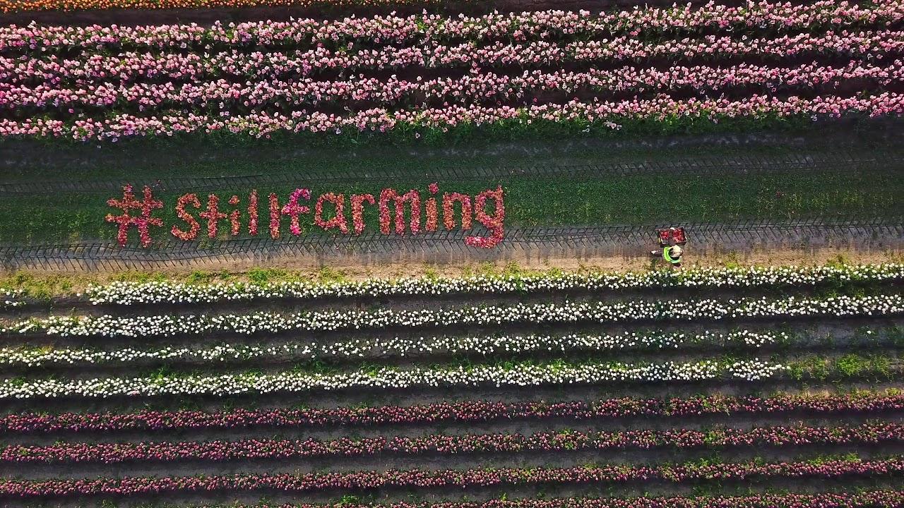 Us Tulip Farmers Soldier On