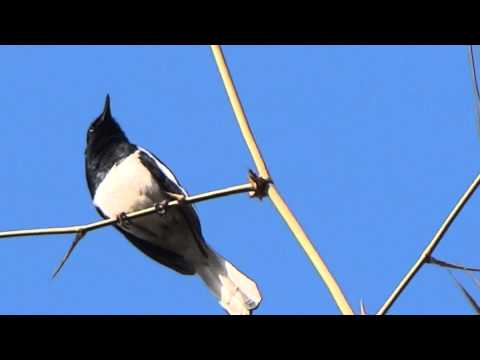 Oriental Magpie- Robin Song.m2ts