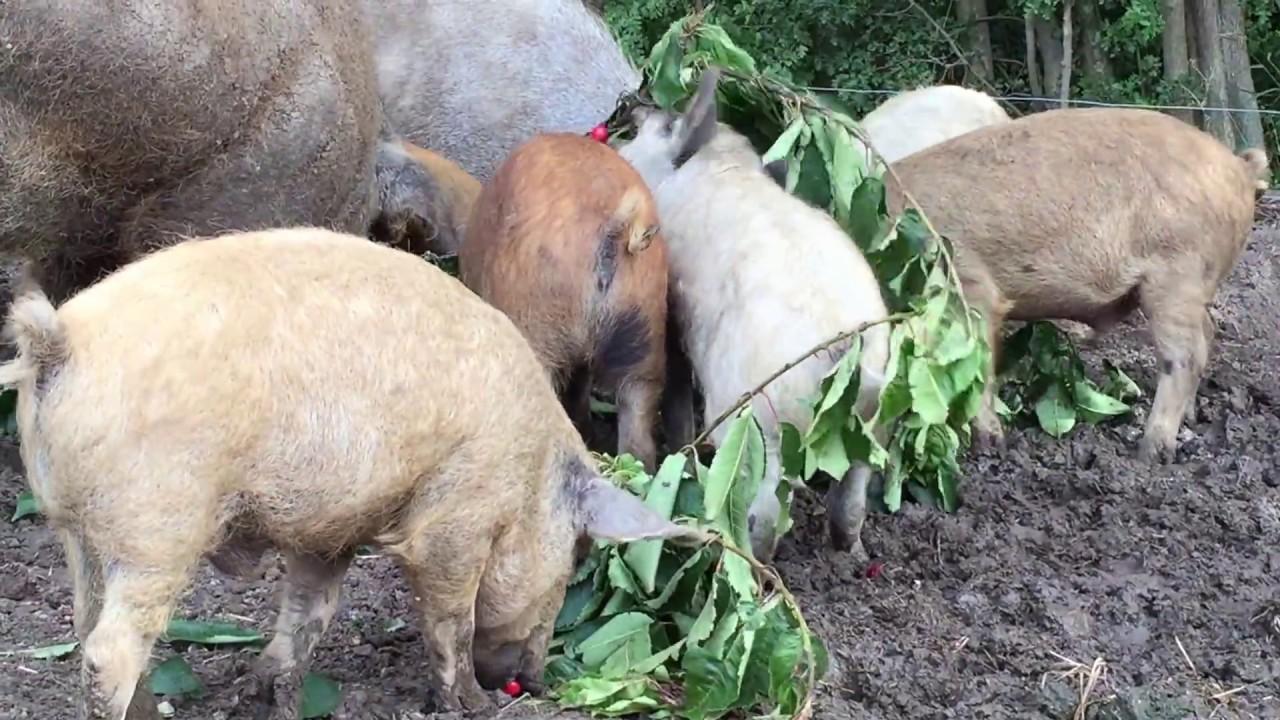 spise med grise