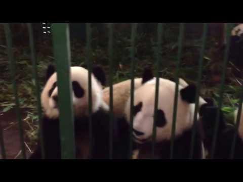 Gorgeous Pandas. Cheng Du, China
