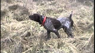 German Shorthaired Pointer Finds Bird 30 Yards Down Wind