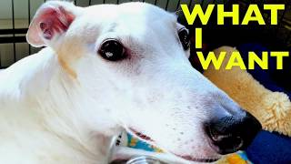 Why Does My Greyhound Stare at Me? [adopted greyhounds behavior]