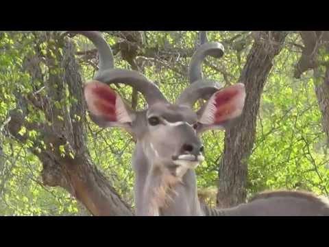 SOUTH AFRICA elegant kudu, SANParks (hd-video)