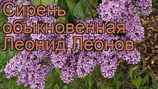 Сирень обыкновенная Леонид Леонов ???? обзор: как сажать, саженцы сирени Леонид Леонов
