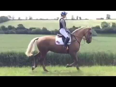 17.2hh Palomino Irish Sports Horse