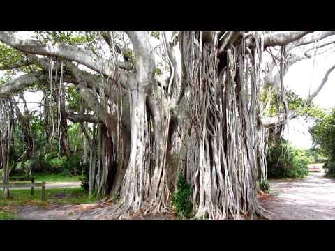 Massive Banyan Tree - Hugh Taylor Birch State Park, Fort Lauderdale, FL