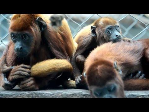 Monos aulladores rojos vuelven a casa en Colombia
