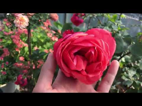 花朵超大的红色月季品种,绯扇、适合嫁接山木香树状月季