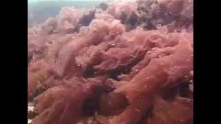 видео Красные водоросли в Чёрном море