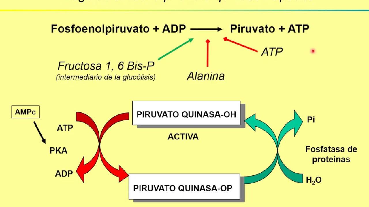 Teórico Regulación del metabolismo de glúcidos. Parte 2..