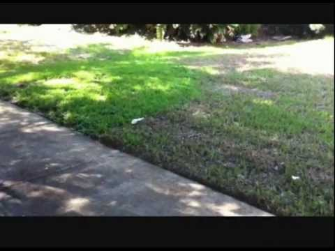 Tampa Lawn Destroyed By Chinch Bugs Youtube