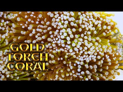 Vlog 42: Fragging a Big Gold Torch Coral
