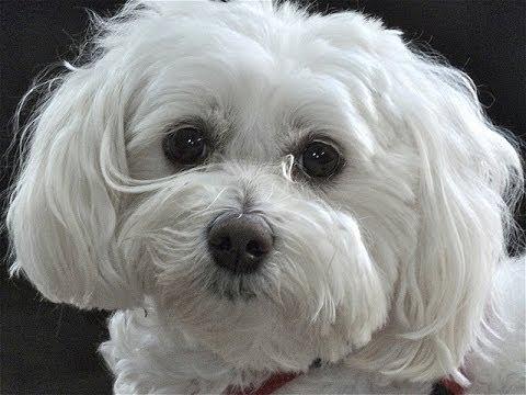 Maltipoo: Barking on Leash