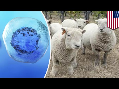 Human-sheep hybrids could grow human organs in innovative organ transplant technique - TomoNews